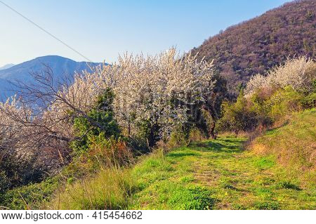Sunny Spring Day In Mountains, Trees In Bloom. Beautiful Mediterranean Landscape. Montenegro,  Tivat