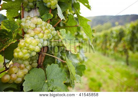 Vineyard with riesling white wine grapes in Germany