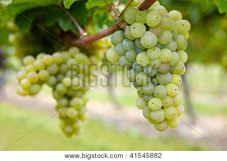 Ripe Riesling white vine grapes in fall in Germany
