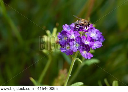 Bee Sitting On A Purple Verbena Flower
