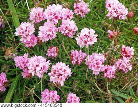 Pretty Pink Sea Thrift Flowers, Armeria Maritima