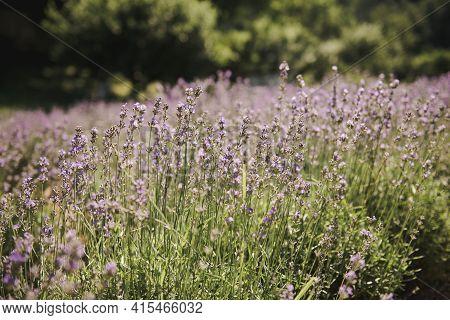 Lavender Begins To Bloom . Lavender Field That Begins To Bloom. Lavender Field In Ukraine.