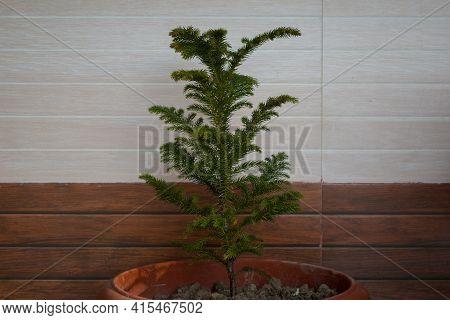 Norfolk Island Pine Or Indoor Pine Tree In Front Of Wooden Tiles.