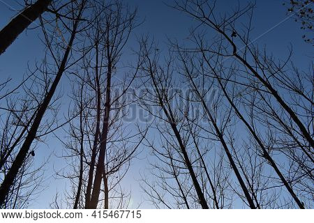 Picture Of Poplar Or Populus Trees Farming.