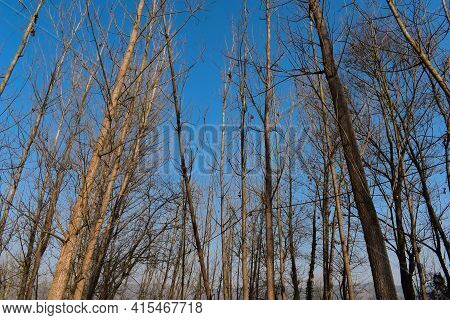 Picture Of Poplar Or Populus Trees Farming