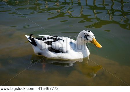 Picture Of White Ancona Duck Floating In Lake Water