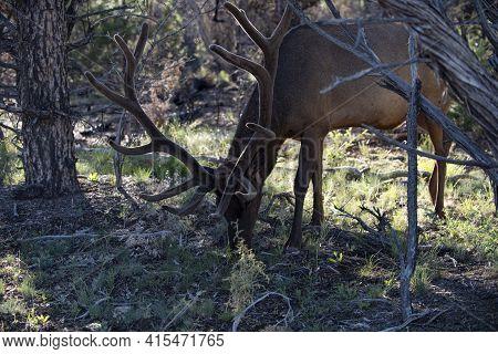 Wild Animal White-tailed Deer Fawn. Roe Deer, Capreolus. Beautiful Wildlife Buck