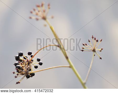 Wild Plant With Black Uneatable Berries On A Blurry Background