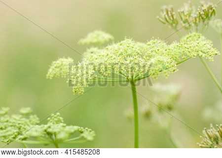 Beautiful Flowering Plant Aegopodium With Flowers Collected In An Umbrella Inflorescence