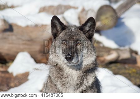 Portrait Of Black Canadian Wolf Is Standing On A White Snow. Close Up. Canis Lupus Pambasileus. Anim