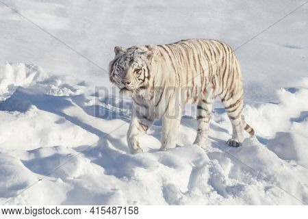 Wild White Bengal Tiger Is Looking Into The Camera. Animals In Wildlife.
