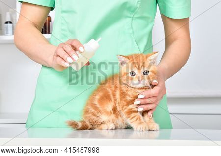 Veterinarian Treats Ears Red Kitten Scottish Straight