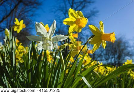 Daffodil flowers yellow and white shining in spring sun under blue sky, soft focus close up, in Djakneberget park in Vasteras, Sweden