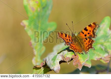 Beautiful Orange Butterfly Polygonia C-album On Oak Leaf. Butterfly Comma Polygon Sits On A Leaf Und
