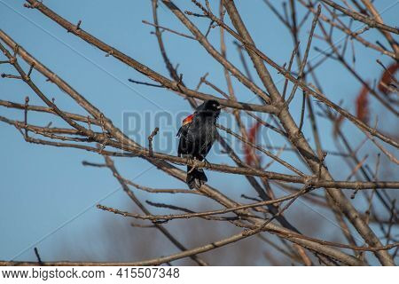Red Winged Backbird (agelaius Phoeniceus) Perched On A Tree Limb With A Blue Background