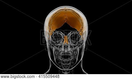 Human Skeleton Skull Parietal Bone Anatomy For Medical Concept 3d Illustration