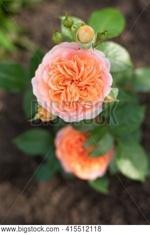 Nostalgic Hybrid Tea Rose Chippendale. Beautiful Bush Of Yellow Pink Roses In A Summer Garden. Rose