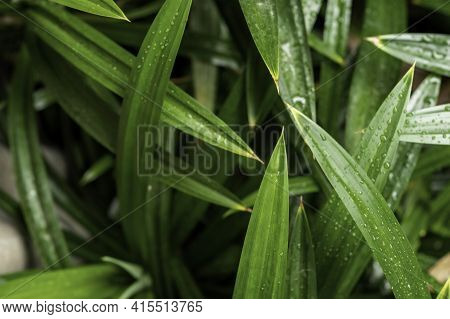 The Fresh Green, Fragrant Pandan Leaves Are Often Used To Add Color And Aroma To Foods And Are Also