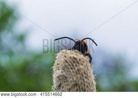 Giant Wasp (latin: Scolia Hirta) It Sits On The Gardener's Glove. Selective Focus, Soft Blurry Backg