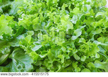 Texture Of Fresh Green Oak Lettuce Or Green Lettuce For Vegan Or Vegetarian Food.
