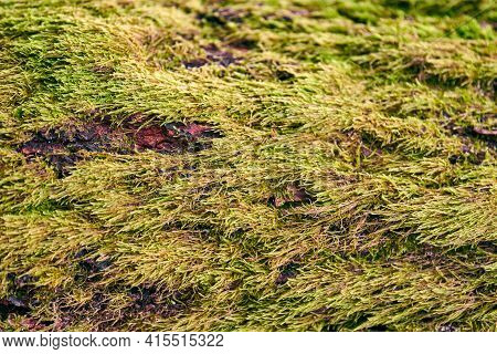 Beautiful Bright Green Moss Covering Tree Trunk In Forest. Wood Full Of Moss Texture In Nature For B