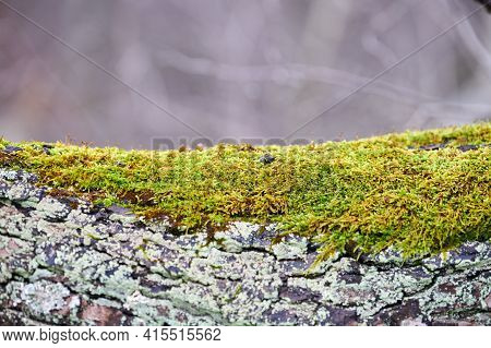 Beautiful Bright Green Moss Covering Tree Trunk In Forest. Wood Full Of Moss Texture In Nature. Clos