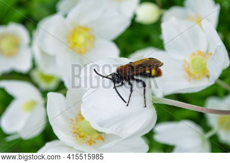 Giant Wasp (latin: Scolia Hirta) In The Family Scoliidae Sitting On A White Flower Anemone Forest (l