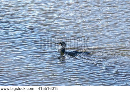 Bright Portrait Image Of Phalacrocorax Carbo, Great Cormorant, Great Black Cormorant, Black Cormoran