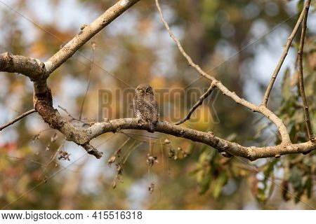 A Low Angle View Of A Jungle Owlet Sitting On A Tree Branch In The Jungle.