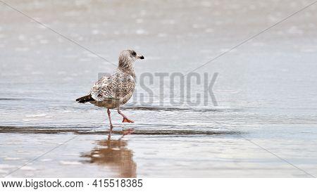 Young Yellow-legged Gull, Larus Michahellis, Walking On Seashore Near Baltic Sea. Juvenile Seagull S