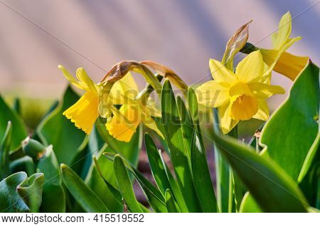 Beautiful Blooming Yellow Lent Lily Flowers With Leaves In Spring Detail