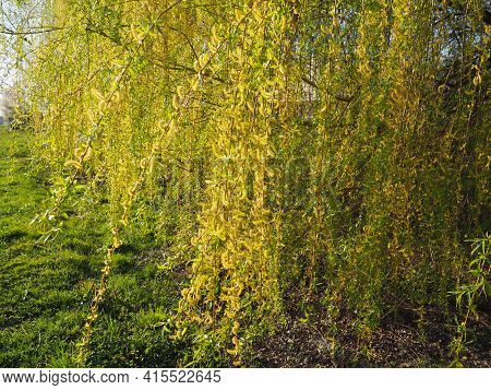 Weeping Willow Tree In The Public Park. Cascading Long Branches Of A Willow With Yellow - Green Flow