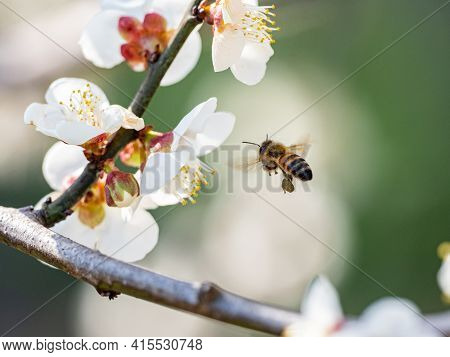 A Honey Bee Flies Around Feeding From And Pollinating Ume Plum Blossoms In A Plum Orchard Near Yokoh