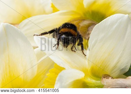 Bumblebee Insect On A Yellow Daffodil Flower.