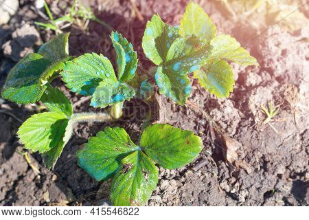 Sunlit little strawberry bush with young seedlings sprinkled by blue liquid also called as Bordeaux