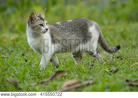 Cat Walking In The Grass Like Tiger