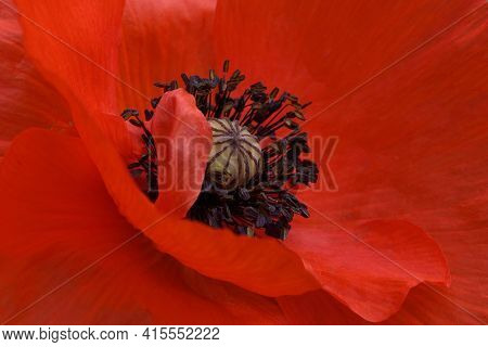 Petals, Capsule And Pistils Of Red Poppy Close-up. Macro Photography. Petals Filled The Entire Surfa