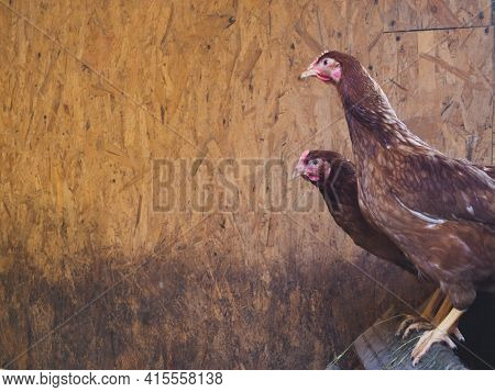 Chickens And A Rooster Walk Around The Chicken Coop