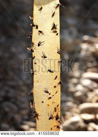 Sticky Flypaper With Glued Flies, Trap For Flies Outdoors.