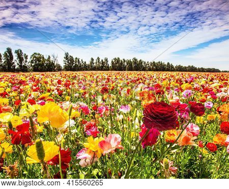 Israel. The multicolored garden buttercups  in a kibbutz field with a magnificent carpet. Walk in the world of flowers. Windy cloudy day.