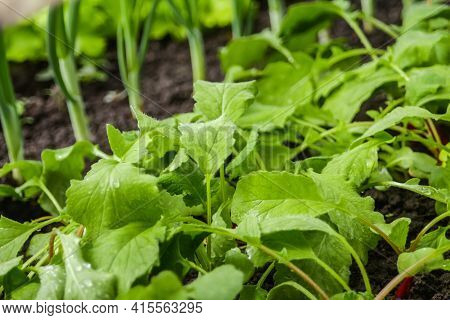 Defocus Radish Leaves And Onions Leek Texture. Organic Radish Grows In The Ground. Young Radishes Gr