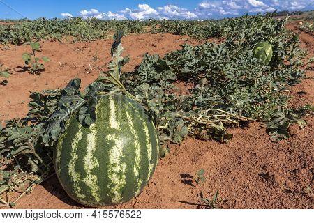 Watermelon Growing In The Field In Brazil