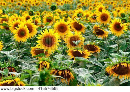 A Field Of Yellow Sunflowers. Sunflower Blooming. Sunflower Field Landscape.