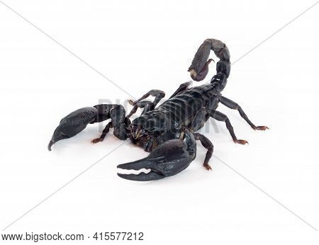 Emperor Scorpion Isolated On White Background, Aninal