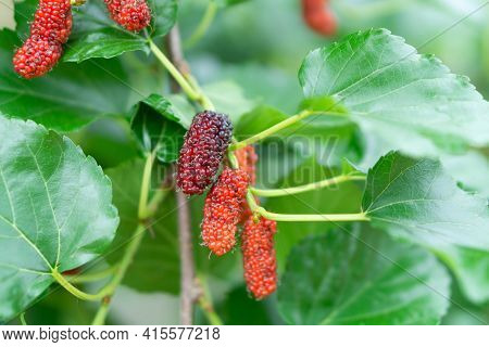 Fresh Mulberry Fruit With Green Leaves Branch, Selective Focus