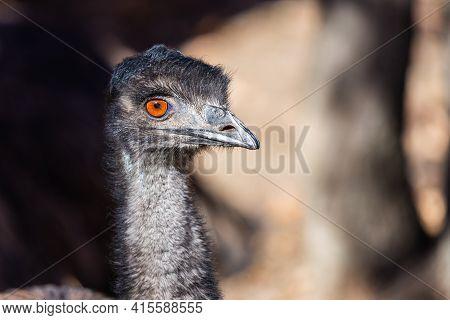 Ostrich Or Dromaius Novaehollandiae Full Frame Filling Head.