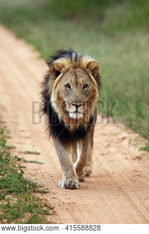 Big Male Lion,  Transvaal  Or The Southeast African Lion (panthera Leo Krugeri) With Black Mane On T