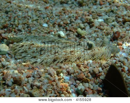 Panther Flounder