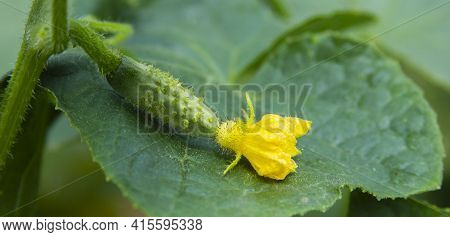 Cucumber Flower And Ovary On The Green Leaf. Yellow Blossom And Young Fruit Close-up. Organic Crop I