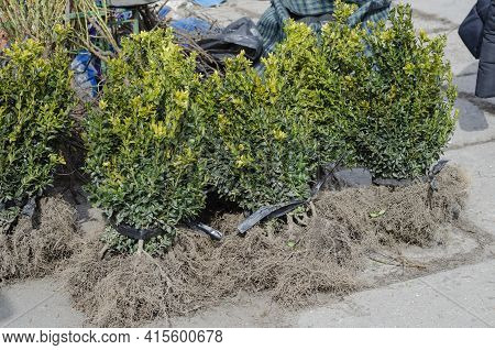 Boxwood Seedlings With Bare Roots. Small Trees With Roots Covered With Earth. Sale Of Seedlings And